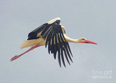 Photograph - Flying Stork 2 by Rudi Prott