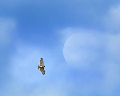 Redtail Hawk Photograph - Flying To The Moon by Bill Wakeley