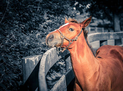 Photograph - Foal By The Fence by Alexey Stiop