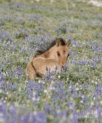 Dun Horse Photograph - Foal In The Lupine by Carol Walker