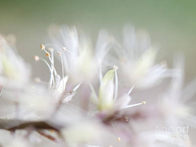 Photograph - Foamflower Wide by Lee Craig