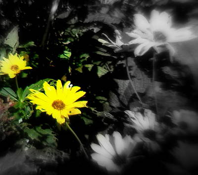 Photograph - Focus On 2 Yellow Daisies by Pamela Hyde Wilson