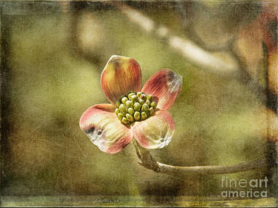 Focus On Dogwood Art Print
