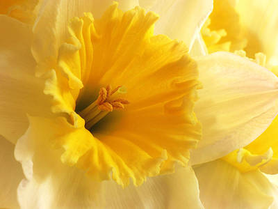 Photograph - Focus On Spring - Daffodil Close Up by Gill Billington