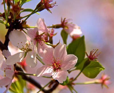 Photograph - Focus On The Blossoms by Kathi Isserman