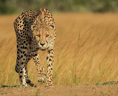 Cheetah Photograph - Focused Intensity by Jaco Marx