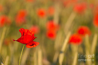 Photograph - Focused Poppy by Kennerth and Birgitta Kullman