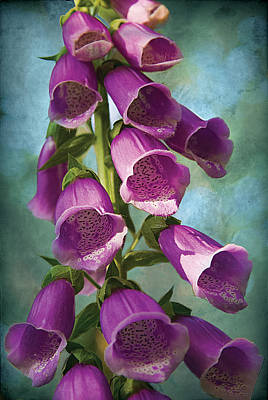 Photograph - Foxglove On Blue by David Davies