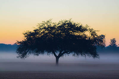 Photograph - Foggy Oak by Shannon Harrington