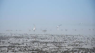 Photograph - Foggy Seabirds Parksville Beach by Roxy Hurtubise