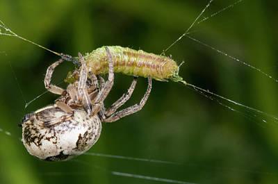 Feeding Photograph - Foliate Spider Feeding by Nigel Downer