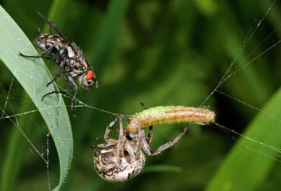 Spider Photograph - Foliate Spider With Prey And Flesh Fly by Nigel Downer