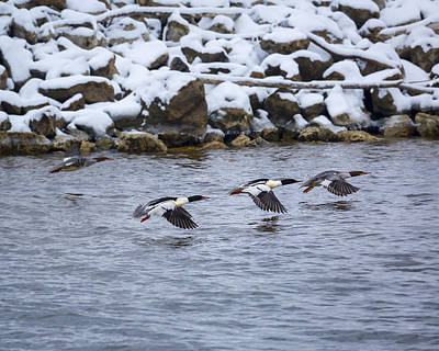 Photograph - Follow Me - Common Mergansers by Jack R Perry