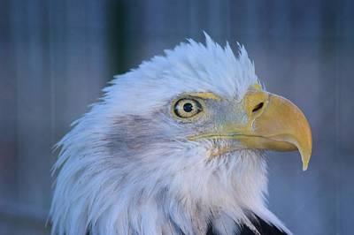 Photograph - Fontana Eagle Portrait by Bonfire Photography