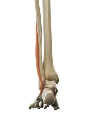 Foot Muscle Art Print by Sciepro