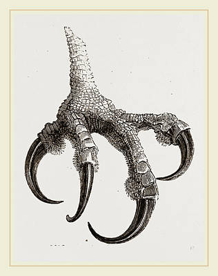 Osprey Drawing - Foot Of Osprey by Litz Collection