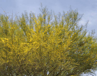 Photograph - Foothill Palo Verde Arizona State Tree by Marianne Campolongo