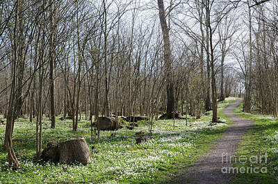Photograph - Footpath Surrounded Of Wood Anemones by Kennerth and Birgitta Kullman