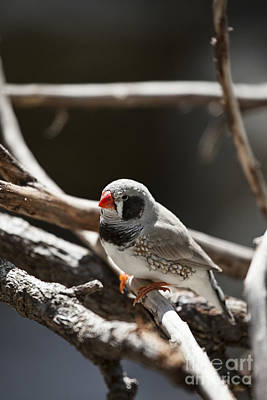 Finch Photograph - For A Moment-alone by Douglas Barnard