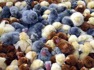 Photograph - For Sale Baby Chicks by Kurt Van Wagner