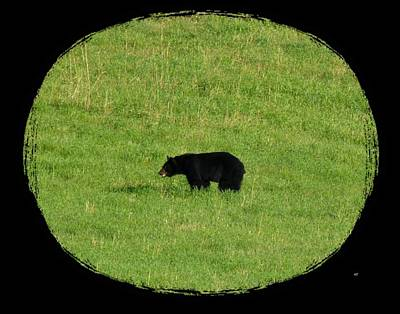 Photograph - Foraging Black Bear by Will Borden