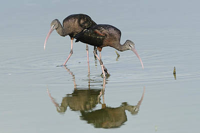 Photograph - Foraging Glossy Ibis by Bradford Martin