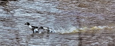 Fore The Love Two Male Goldeneye Ducks Fighting For A Female In Creek Of Enkoping Art Print by Leif Sohlman