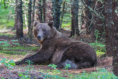 Photograph - Forest Bear by Chris Scroggins