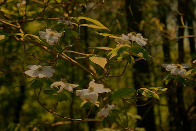Photograph - Forest Dogwood by Nina Fosdick