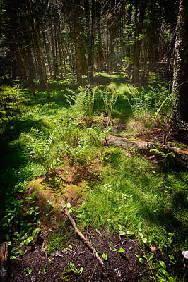 Photograph - Forest Ferns by John Haldane