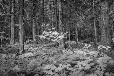 Photograph - Forest Floor Glacier National Park Bw by Rich Franco