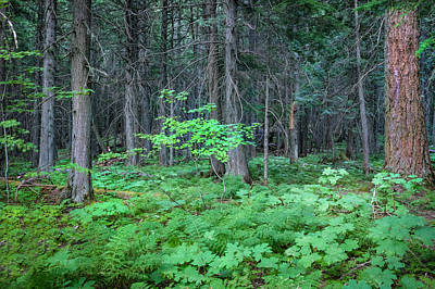 Photograph - Forest Floor Glacier National Park Painted by Rich Franco