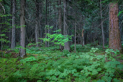Photograph - Forest Floor Glacier National Park  by Rich Franco