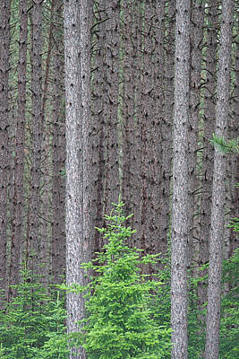 Go For Gold Rights Managed Images - Forest for the Trees Royalty-Free Image by Tim Schmidt