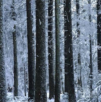 Forest In Winter Print by Bernard Jaubert