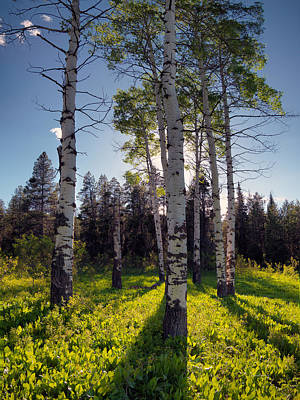 Caribou Photograph - Forest Light Aspens by Leland D Howard