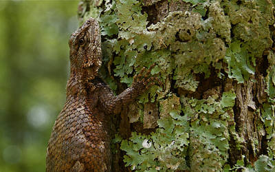 Photograph - Forest Lizard 2 by Greg Vizzi
