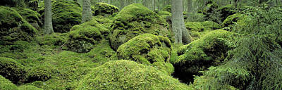 Forest Floor Photograph - Forest Moss Sweden by Panoramic Images