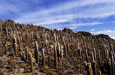 Art Print featuring the photograph Forest Of Cacti by Lana Enderle
