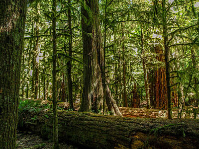 Photograph - Forest Of Cathedral Grove Collection 1 by Roxy Hurtubise