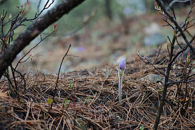 Photograph - Forest Pasqueflower by Dakota Light Photography By Dakota