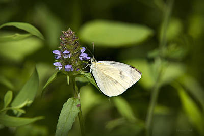 Rollos Photograph - Forest Pearl Butterfly by Christina Rollo
