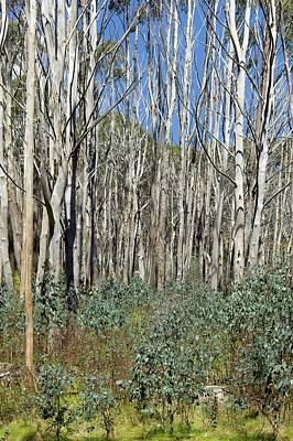 Forest Regeneration After Bushfire Art Print