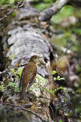 Photograph - Forest Veery Bird by Christina Rollo