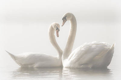 Swans Photograph - Forever by Monika Schwager