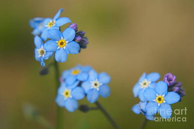Aimelle Photograph - Forget Me Not 01 - S01r by Variance Collections