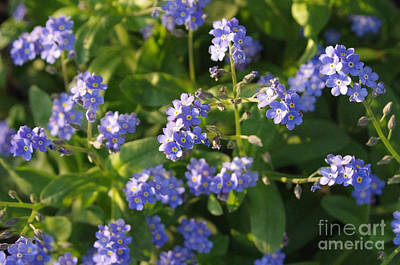 Forget-me-not Flowers Art Print