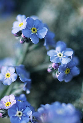 Forget Me Nots Wall Art - Photograph - Forget-me-not Flowers by Mauro Fermariello/science Photo Library