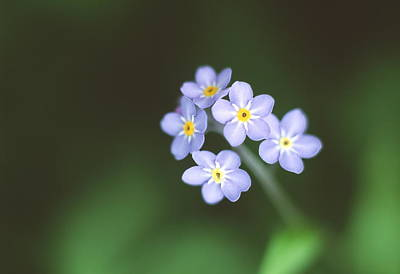 Forget Me Nots Wall Art - Photograph - Forget-me-not Flowers by Simon Fraser/science Photo Library
