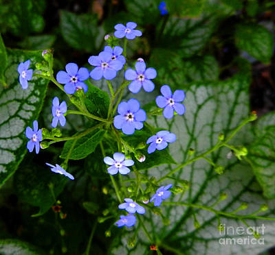 Forget-me-not Art Print by Marcia Nichols